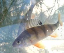 Skolelever hjälper fisken att leka