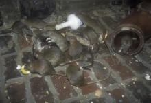 Ratél – elektronisk råttbekämpning utan gift