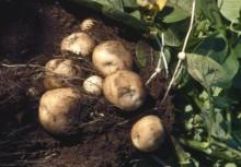 Skörden av matpotatis blev 18 procent högre än i fjol