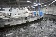 Store perspektiver for bæredygtig fiskeopdræt på land