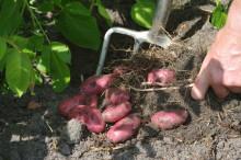 Haveselskabet i forårshumør: Kys din kartoffel