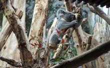 Ein zweiter Koala stellt sich vor: Tinaroo ist im Zoo Leipzig eingezogen