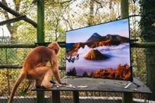 Makit ja langurit katsovat todellisuuden mukaista 4K-kuvaa osana sopeuttamista takaisin luontoon