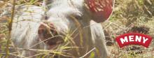 Hedemarks Frilandsgrise på MENYen