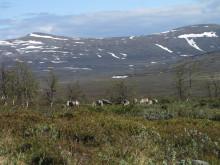 Stora utmaningar för fortsatt traditionell markanvändning i fjällområdet