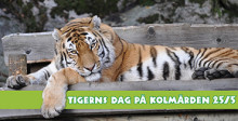 Evenemangstips - Tigerns dag på Kolmården