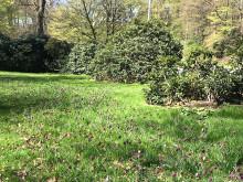 Blommande kungsängsliljor längs Hälsovägen nytt vårtecken