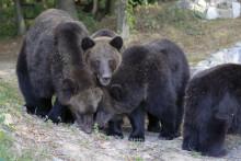 Pressemitteilung | Umsiedlung von vier Braunbären in der Ukraine – Rettung für Dina und ihre Nachkommen