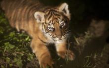 Parken Zoo och svenska djurparker bidrar till att rädda tigrarna