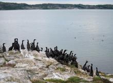 Nordisk samarbetsgrupp efterlyser gemensam förvaltning av skarv