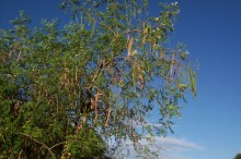 Better Water Purification with Seeds from Moringa trees