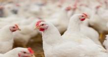 Nestlé vauhdittaa kanojen hyvinvoinnin ohjelmaansa Euroopassa