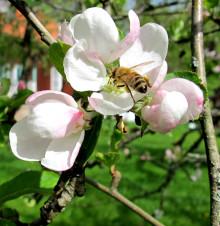 World Bee Day 20 maj: Mångfald och artrikedom gynnar alla bin