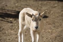 Akut hotade antiloper födda på Kolmården