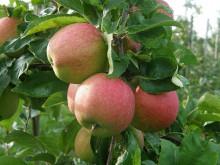 Om frukt märkt med Svenskt Sigill