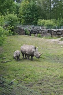 Noshörningarna tillbaka på sin savann
