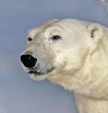 Storskalig kartläggning av dna visar hur isbjörnen anpassats till ett liv i Arktis