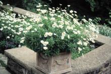 Sofieromargerit – en blommande trädgårdshistoria