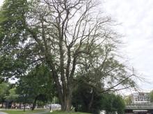Nedtagning av riskträd i Kungsparken