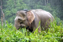 Royal donation saves wild elephants in Malaysia