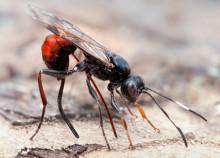 Sveriges insekter är räknade
