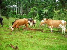 Brasilianska boskapsrancher blir först med Rainforest Alliance-certifiering