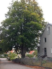 Bok och magnolia vinner Växjö Trädpris 2016