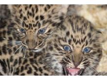 Tre små mirakel kan säkra amurleopardens framtid