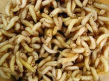 Följ via webb: Insekter som produktionsdjur i lantbruket