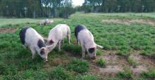 6 av 10 vill ha bökande grisar