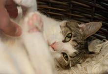 Toxoplasmose og katte… Nu igen??