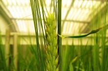 Genetiken bakom inlagringen av stärkelse och kostfiber i kornkärnan är klarlagd