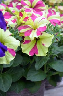 Petunia - är den sofistikerad?