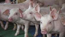 Chr. Hansen will showcase research on its newest Swine probiotic at the Congress on Gastrointestinal Function in Chicago