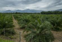 EU's efterspørgsel på kød, soja og palmeolie fremmer ulovlig skovrydning