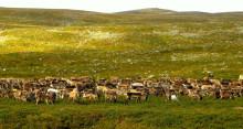 Renbete skyddar mångfalden av tundraväxter vid varmare klimat
