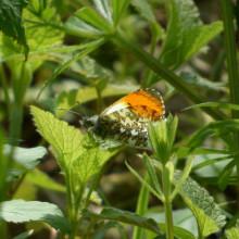 Ändrat klimat får fjäril att flyga tidigare på våren