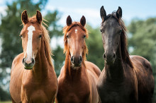 Horse manure a resource often overlooked
