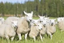 Djurvälfärden hos kor, suggor och får har stärkts av djurvälfärdsersättningar