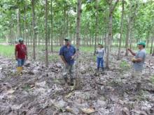 Ecuador jetzt wichtigster Lieferant von Plantagenteak nach Indien