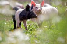 Säkrare tillgång på svenskt KRAV-kött hos Martin & Servera