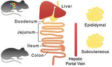 Tarmfloran reglerar antioxidanters ämnesomsättning