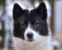 Labradoren stärker greppet