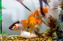 Konferenser för Guldfiskar?