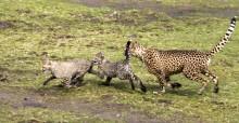 Gepardungar ute i stora anläggningen