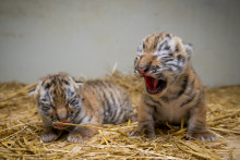 Två  tigerungar är födda!