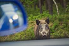 Undvik kollision med djur genom att sänka farten