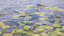 Grums och Säffle kommun gör gemensam satsning kring övergödd sjö