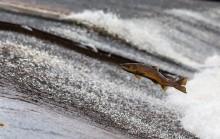 Pressinbjudan: Kan vi förena vattenkraft med levande älvar och vattendrag?