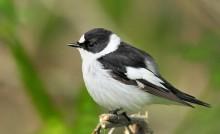 Flugsnapparens arvsmassa ger ny kunskap om varför mutationer uppstår